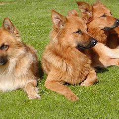 "photo ""My 3 dogs"""