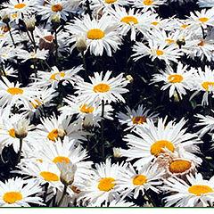 "photo ""Walk among flowers"""