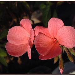 """фото """"Salmon Pelargonium"""""""