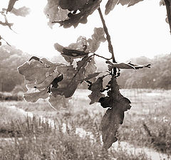 """photo """"oak"""""""