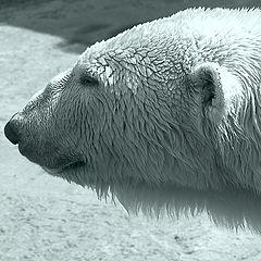 """фото """"Тоска...да и тюлени, черт бы их побрал, куда-то по"""""""