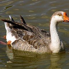 "фото ""the duck"""