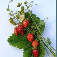 """фото """"October Strawberries"""""""