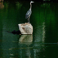 "фото ""Great Blue Heron"""