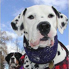 "фото ""Snow Dogs"""