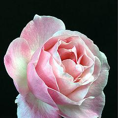"photo ""Rose-Rose"""