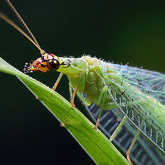 "фото ""Green Lacewing Portrait"""
