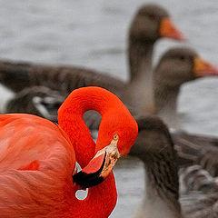 """фото """"Фламинго+ГУСИ"""""""