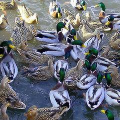 """photo """"Too many ducks"""""""