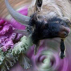 "photo """" The Goat black """""