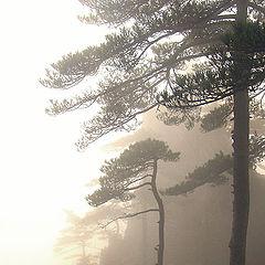 "photo ""Misty pines"""