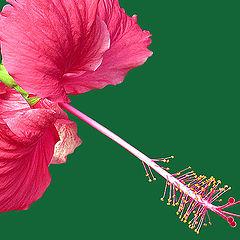 """фото """"Hibiscus"""""""