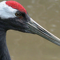 "фото ""Red-crowned crane"""