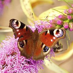 """фото """"Бабочка крылышками..."""""""