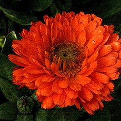 "фото ""Orange Petals"""