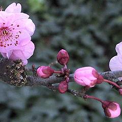 """фото """"Winter Blossoms"""""""