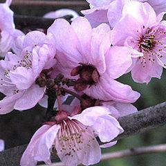 """фото """"Fruit Blossom"""""""