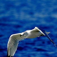 "photo ""Herring Gull Winter Coloration"""