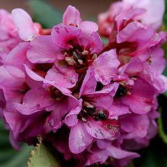 "фото ""Pink Flowers"""