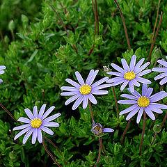 "фото ""Blue Flowers"""