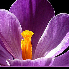 "photo ""Crocus II"""