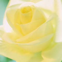 "photo ""Yellow tenderness"""