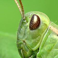 "фото ""Grasshopper"""