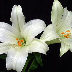 "фото ""Lilies"""