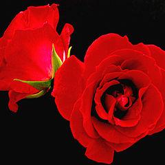 "photo ""Soft Roses"""