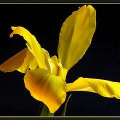 """photo """"Yelow lily"""""""