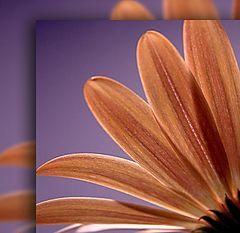 "фото ""Osteospermum"""
