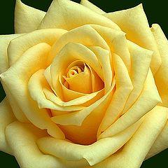 "фото ""Rose & Love"""