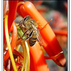 """фото """"Little bee, big flower"""""""