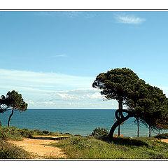 "фото ""Pine trees at seaside."""
