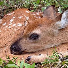 """photo """"Baby Bambi"""""""