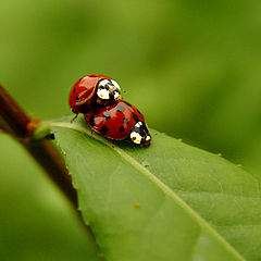 "фото ""Lady Bug Love"""