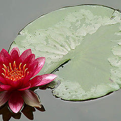 "фото ""Waterlily (2)"""