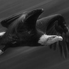 "photo ""American bald eagle (bw)"""