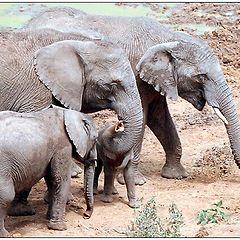 """фото """"Elephants"""""""