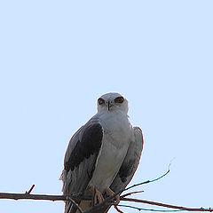 "фото ""White-tailed Kite"""