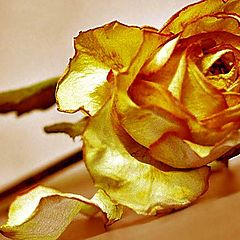 """photo """"Yellow rose of grief"""""""