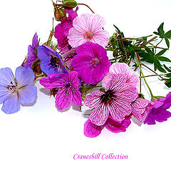 "фото ""Meadow Cranesbill"""