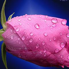 """фото """"Like a rose"""""""
