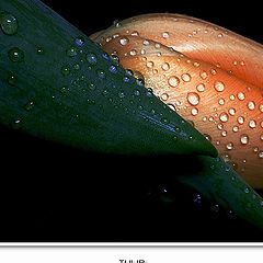 """фото """"Tulip"""""""
