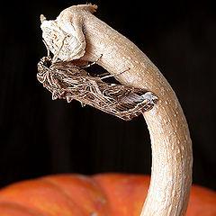 "фото ""A moth on pumpkin vine"""
