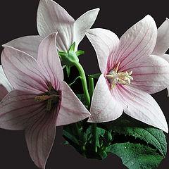 """photo """"Flower (Bell)"""""""