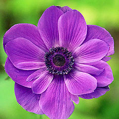 "фото ""an anemone 595998120.jpg"""