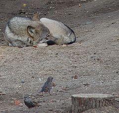 """фото """"Вот такая у меня волчья жизнь..."""""""