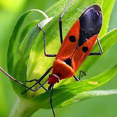 """фото """"Red Bug"""""""