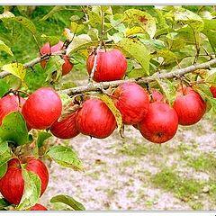 """фото """"Осенние яблоки."""""""